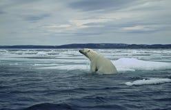 北极极性熊加拿大浮冰的冰 免版税库存图片