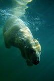 北极潜水员 免版税库存图片
