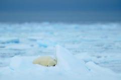 北极熊、睡觉大逗人喜爱的动物在流冰与雪和黑暗的天空在北极斯瓦尔巴特群岛,在冷的自然栖所,挪威 免版税库存图片