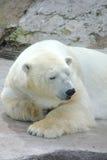 北极熊。 库存照片