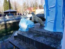 北极熊卡伊群岛在新西伯利亚动物园里 免版税库存图片