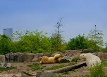 北极熊和城市 库存图片