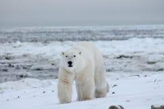 北极熊哈德森湾(6) 库存照片