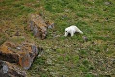 北极熊在夏天北极 免版税库存图片