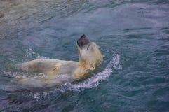 北极熊在多伦多动物园里 免版税库存图片