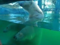 北极熊在徒步旅行队公园 免版税图库摄影