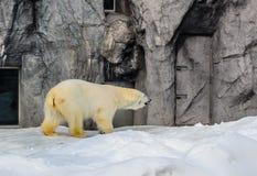 北极熊在日本动物园里 免版税库存图片