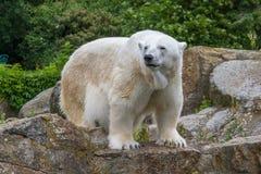 北极熊在柏林动物园里 免版税库存图片