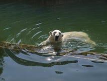 北极熊在河游泳 库存照片