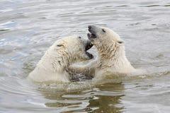 北极熊在水中 免版税图库摄影