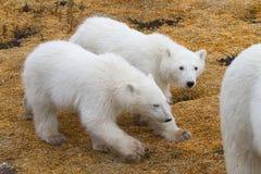 北极熊孪生崽 免版税库存照片