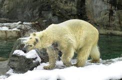 北极熊干燥  图库摄影