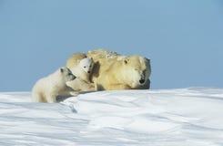 北极熊当幼童军与雪的育空母亲 库存图片