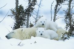 北极熊当幼童军与雪的育空母亲 免版税库存图片