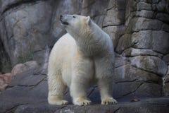 北极熊得到了某事 免版税库存照片
