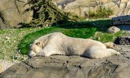 北极熊或冰熊在秋天风景 免版税库存图片