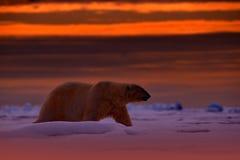 北极熊日落在北极 涉及与雪的流冰,与晚上橙色太阳,斯瓦尔巴特群岛,挪威 美丽的红色天空 免版税图库摄影