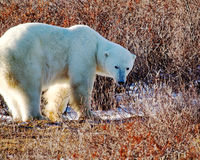 北极熊检查什么是在他后 免版税库存照片