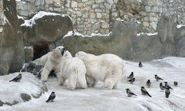 北极熊母亲和两头两岁的小熊 图库摄影
