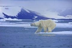 北极熊测试水 图库摄影