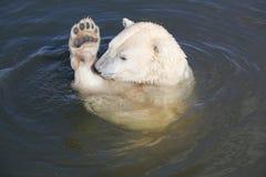 北极熊游泳在水中 免版税库存照片