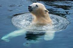 北极熊游泳 免版税库存照片