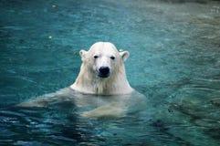 北极熊游泳 免版税图库摄影