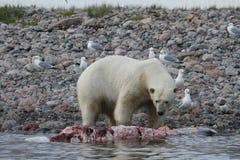 北极熊熊属类吃沿海岸线的Maritimus一条白海豚鲸鱼在亚怀亚特,努纳武特附近 免版税库存照片