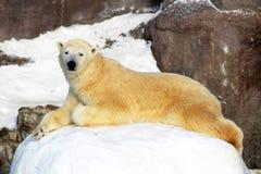 北极熊熊属类在浮冰块的maritimus崽,在斯瓦尔巴特群岛北极挪威北部 免版税库存照片