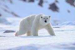 北极熊熊属类maritimus卑尔根群岛北部海洋 库存图片