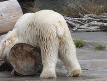 北极熊瑜伽 免版税库存照片