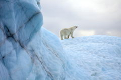 北极熊生存在北极 库存照片