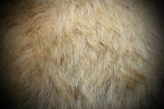 北极熊白色毛皮 免版税库存图片