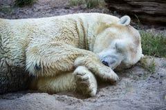 北极熊睡觉 免版税图库摄影
