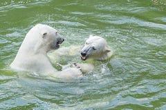 北极熊舞蹈 库存照片