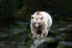 北极熊走 库存照片
