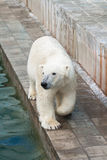 北极熊走 免版税库存照片