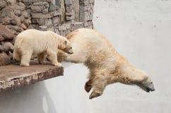 北极熊跳壁架 免版税库存图片