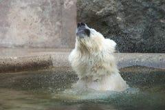 北极熊震动 库存照片