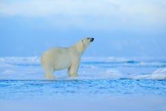 北极熊,在冰的危险看的野兽与雪在北部俄罗斯,自然栖所 免版税图库摄影