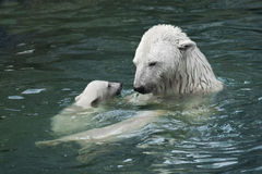 北极熊(熊属类maritimus) 免版税图库摄影