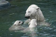 北极熊(熊属类maritimus) 免版税库存照片