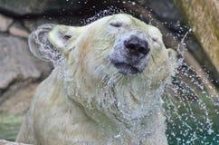 北极熊水震动 免版税库存照片