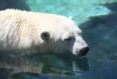 北极熊 免版税图库摄影