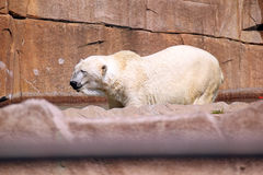 北极熊 库存照片