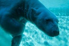北极熊 免版税库存照片