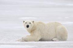 北极熊 图库摄影