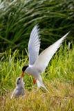 北极燕鸥哺养的年轻人 库存照片