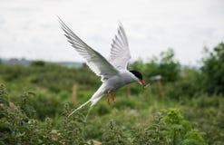 北极燕鸥在飞行中在Farne海岛,诺森伯兰角,英国上 库存图片