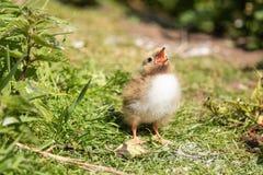 北极燕鸥小鸡乞求为食物 图库摄影
